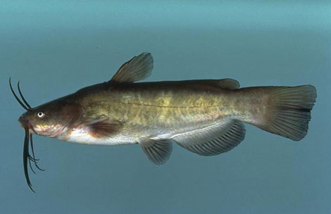 Brown Bullhead. Photo © Noel Burkhead