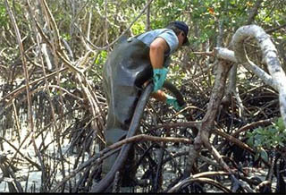Workers cleaning oil off mangroves. Photo courtesy Office of Response and Restoration/NOAA