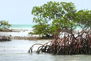 Red mangrove (Laguncularia racemosa) © Cathleen Bester / Florida Museum