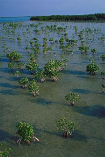 Mangrove Replenishment Project. Photo courtesy South Florida Water Management District