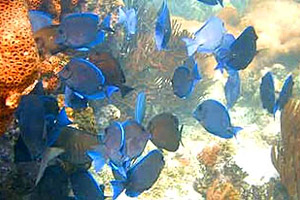 Blue tangs schooling over a patch reef. Photo courtesy U.S. Geological Survey