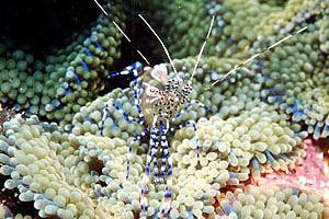 Cleaner shrimp. Photo © Mark Younger