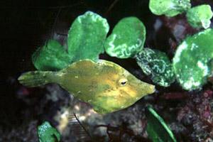 Fringed filefish. Photo © David Snyder