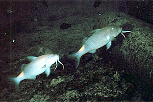 Goatfish (Scarus vetula). Photo courtesy NOAA