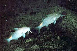 Goatfish (Scarus vetula). Photo courtesy NOAA