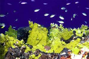 Fire coral (Hydrozoan). Photo courtesy NOAA