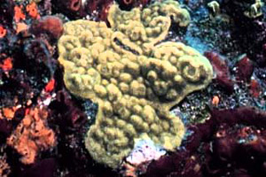 Mustard hill coral. Photo courtesy NOAA
