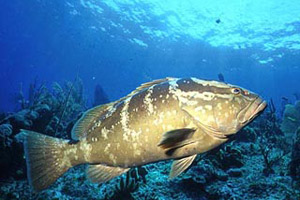 Nassau grouper. Photo © Mary Lou Frost