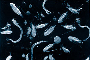 Plankton. Photo courtesy National Marine Fisheries Service