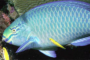 Queen parrotfish (Scarus vetula). Photo courtesy NOAA