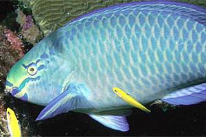 Queen parrotfish (Scarus vetula). Photo courtesy NOAA