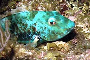 Redband parrotfish (Sparisome aurofrenatum). Photo © Bob Klemow
