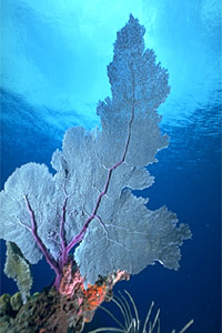 Sea fan. Photo © Eugene Weber, California Academy of Sciences