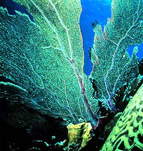 Sea fan. Photo courtesy NOAA