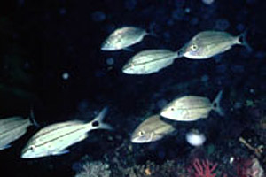 Tomtate (Haemulon aurolineatum). Photo courtesy NOAA