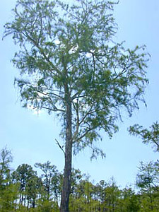 Bald cypress tree. Photo courtesy U.S. Geological Survey