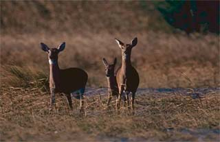 White-tail deer. Photo courtesy U.S. Fish and Wildlife Service