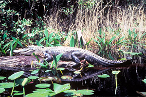 American alligator (Alligator mississipiensis). Photo courtesy U.S. Fish and Wildlife Service