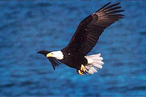 Southern bald eagle (Haliaetus leucocephalus leucocephalus). Photo © John White