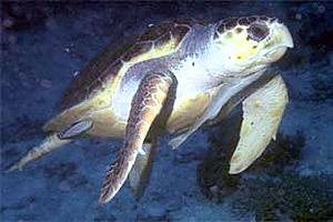 Atlantic hawksbill sea turtle. Photo © Eugene Weber, California Academy of Sciences
