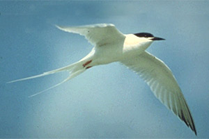 Roseate tern (Sterna dougailii). Photo courtesy U.S. Geological Survey