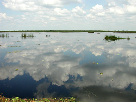 Freshwater Marsh Surrounded by Sawgrass. Florida Museum photo by Cathleen Bester