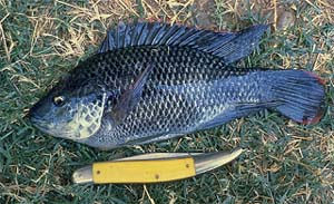 Mozambique Tilapia (Oreochromis mossambicus). Photo courtesy U.S. Geological Survey