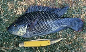 Mozambique Tilapia (Oreochromis mossambicus). Photo courtesy U.S. Geological Survey
