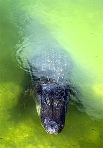 American alligator. Photo courtesy U.S. Fish and Wildlife Service