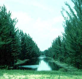 Australian pine. Photo courtesy National Park Service