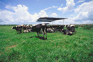 Dairy farm. Photo courtesy South Florida Water Management District