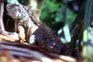 Iguana. Photo courtesy National Park Service