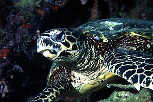 Loggerhead sea turtle. Photo © George Ryschkewitsch
