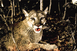 Florida panther. Photo courtesy U.S. Department of Trasnportation