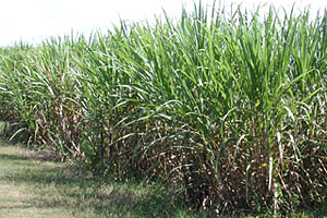 Sugar cane field. Photo © Cathleen Bester/Florida Museum