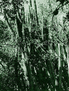 Tree cactus. Photo courtesy U.S. Geological Survey
