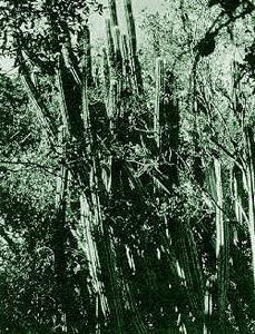 Tree cactus. Photo courtesy U.S. Geological Survey