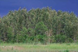 Melaleuca quinquenervia - the punk tree. Photo courtesy U.S. Geological Survey