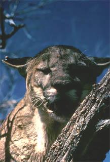 Florida panther. Photo courtesy U.S. Fish and Wildlife Service