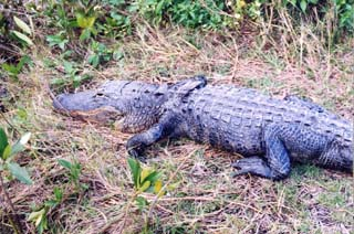 Alligator. Photo © Dana Ehret
