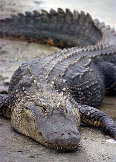 American Alligator. Photo courtesy NASA