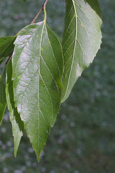 Hackberry leaves. Photo © Steve Baskauf