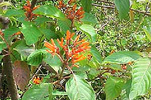 Fire Bush (Hamelia patens). Photo courtesy South Florida Water Management District