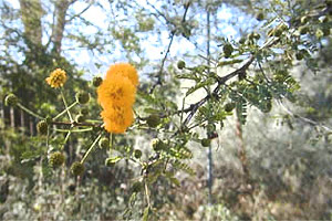 Sweet acacia (Acacia farnesiana). Photo © Keith Haworth