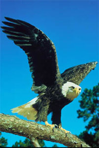 Southern bald eagle (Haliaeetus leucocephalus leucocephalus). Photo courtesy U.S. Fish and Wildlife Service