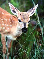 Key Deer (Odocoileus virginianus). Photo courtesy U.S. Fish and Wildlife Service