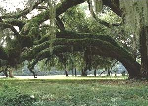 Live Oak (Quercus virginiana). Photo courtesy NOAA