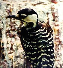 Red-Cockaded Woodpecker (Picoides borealis). Photo courtesy U.S. Fish and Wildlife Service