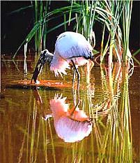 Wood Stork (Mycteria americana). Photo courtesy U.S. Geological Survey