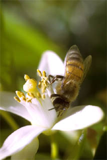 Honey bee. Photo © Dr. Antonio J. Ferreira, California Academy of Sciences